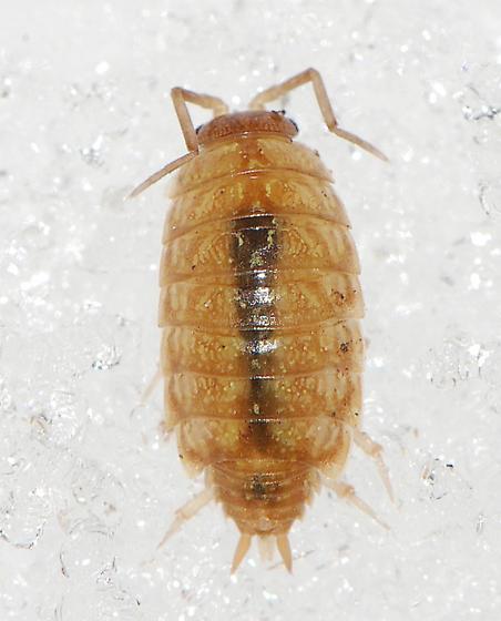 wood louse ? - Philoscia muscorum
