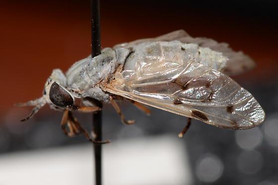 light grey tabanid? - Silvius abdominalis - female