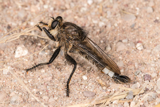 Asilid - Efferia mortensoni - male