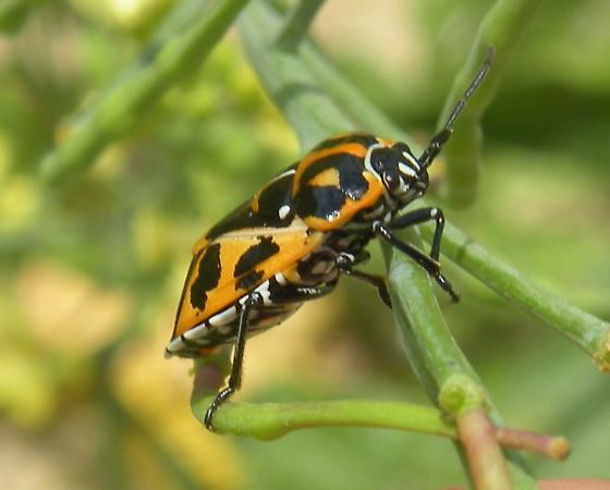 similar to a Harlequin bug... - Murgantia histrionica