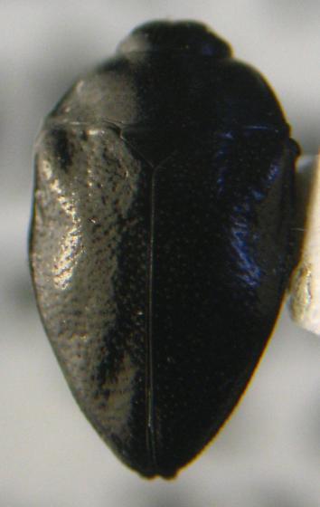 Leaf-mining Beetle - Pachyschelus laevigatus