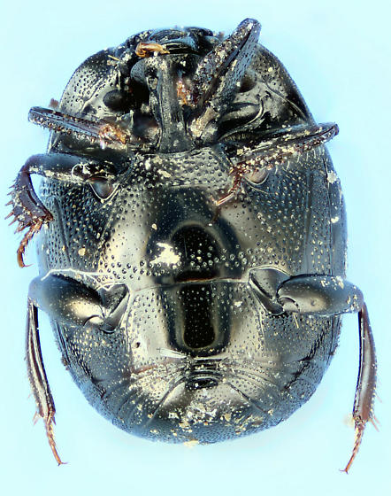 clown beetle - Geomysaprinus posthumus