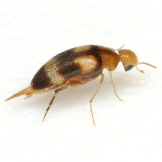 Mordellistena trifasciata (Say) - Mordellistena trifasciata