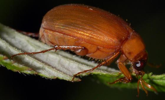 Scarab on raspberry - Nipponoserica peregrina