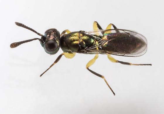 small Wasp - Brasema allynii - male