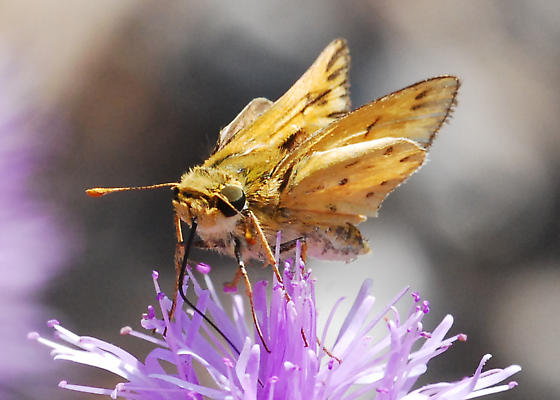 Another of those pesky skippers for ID - Hylephila phyleus - male