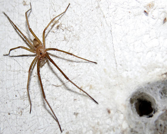 Male Southern House Spider Courting - Kukulcania hibernalis - male - female