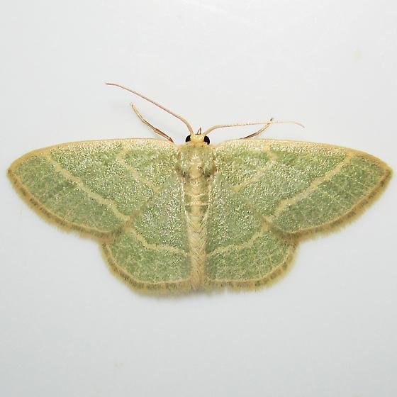 Emerald 3 - Chlorochlamys chloroleucaria - female