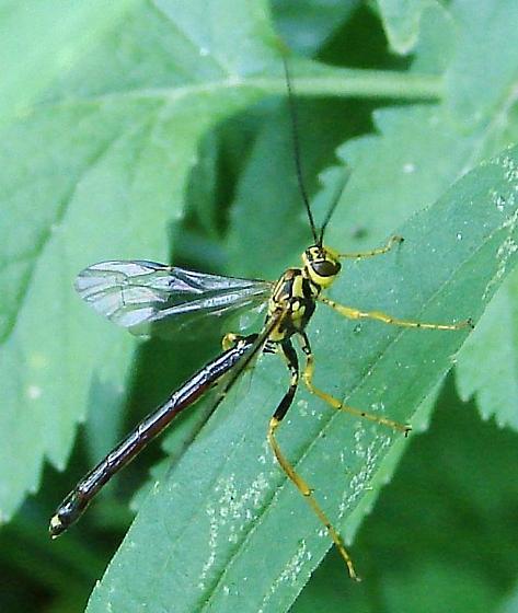 Ichneumon Wasp - Megarhyssa atrata - male