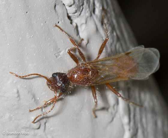 Pogonomyrmex - male