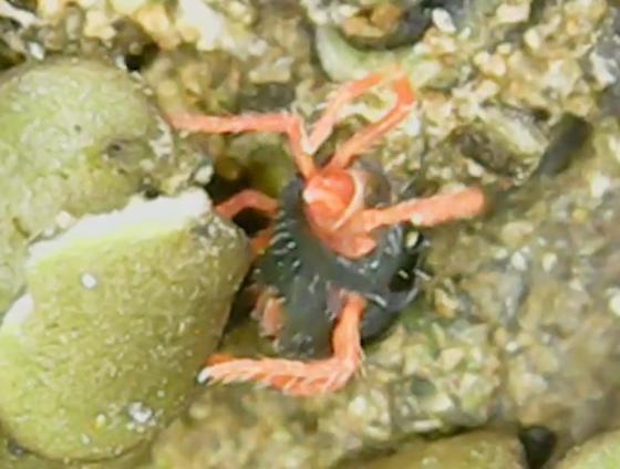 Black and red mite in lichen - Penthaleus major