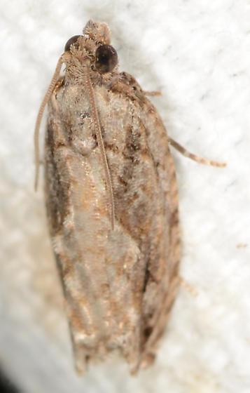 Gretchena bolliana - Pecan Bud Moth - Gretchena bolliana