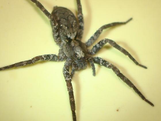 - Gladicosa pulchra - female