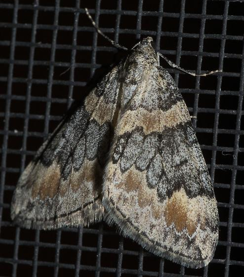 Grey and brown moth - Dysstroma brunneata