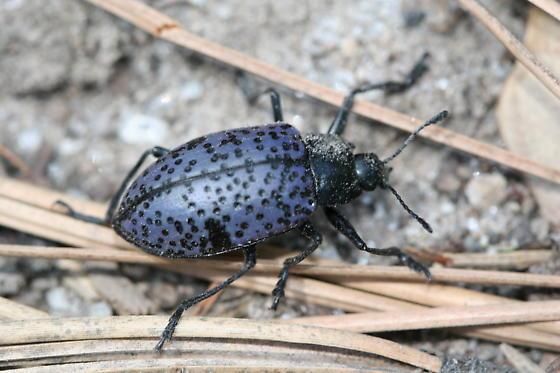 Erotylidae - Gibbifer californicus