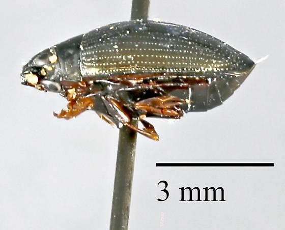 Hydrophilidae sp.? - Gyrinus