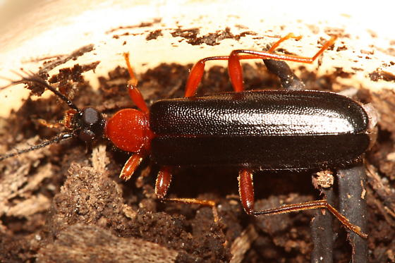 Fire-colored Beetle - Dendroides canadensis - female