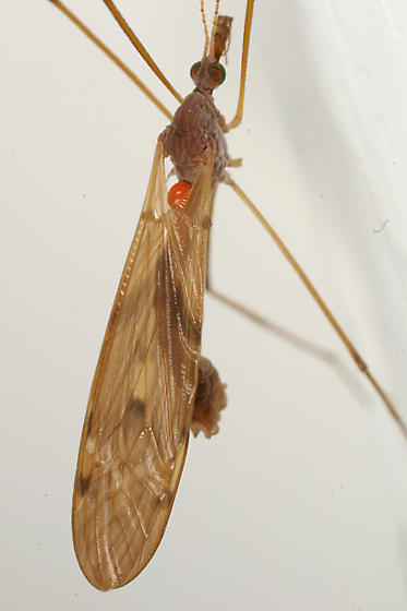 crane fly with a mite - Tipula ultima - male