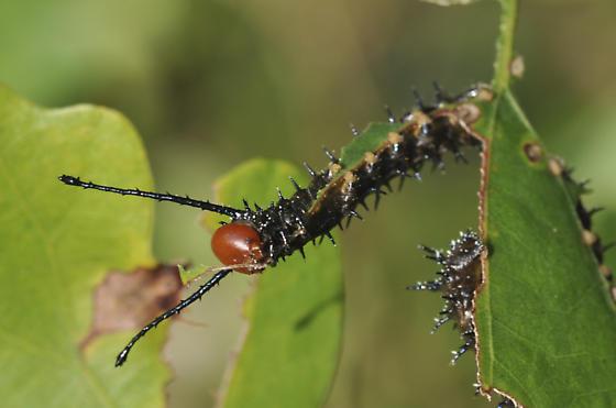 Spiny Oakworm - Anisota stigma