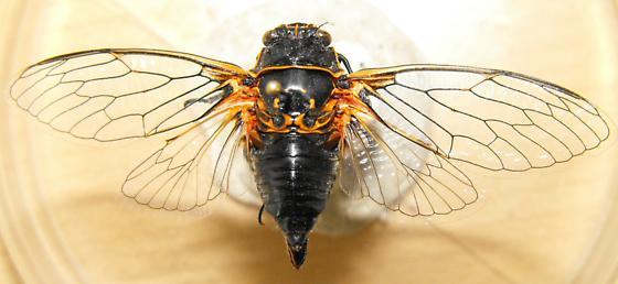 Cicada - Okanagana bella - male