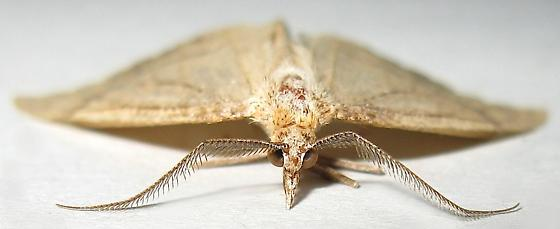 Immaculate Fawn Moth - Sericosema immaculata - male