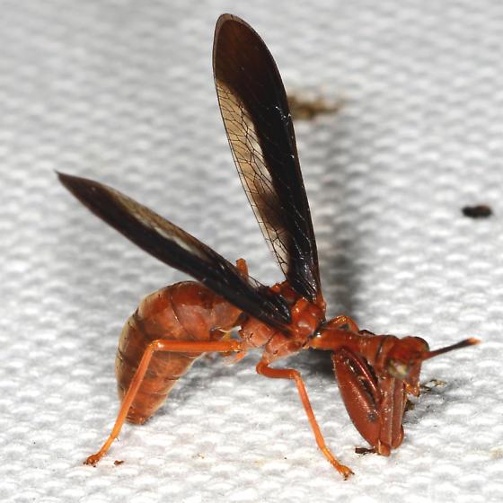 Climaciella brunnea (Wasp Mantidfly) - Climaciella brunnea