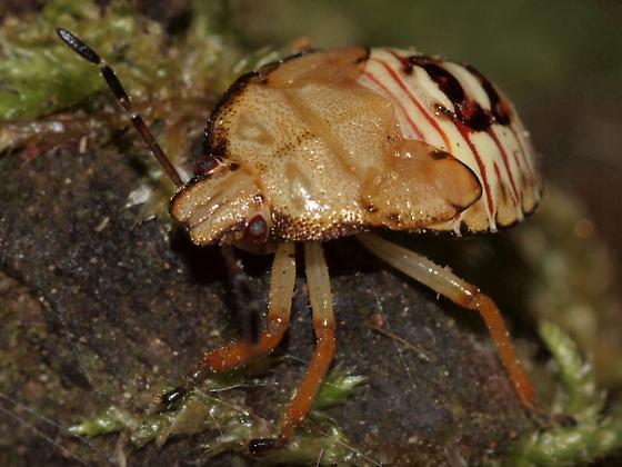 Predatory Stink Bugs (Asopinae)  - Podisus
