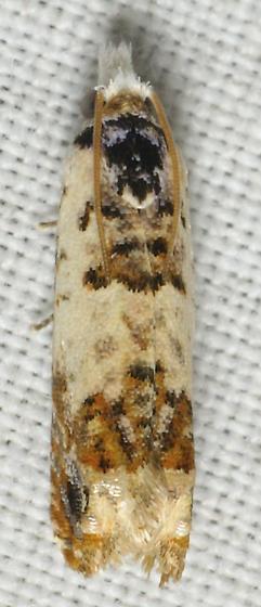 Orange and white moth - Eucosma ornatula