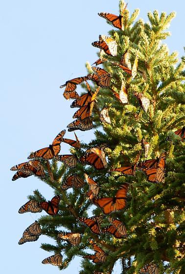 Migrating Monarchs - Danaus plexippus - Danaus plexippus