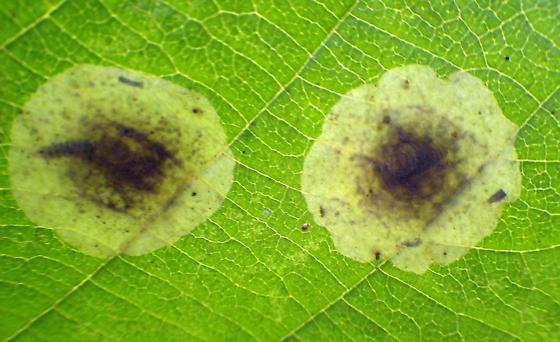 0817 Cameraria corylisella on hazelnut - Cameraria corylisella