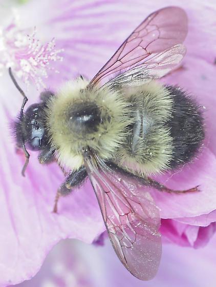 Bombus vagans - Half-black Bumble Bee - Bombus vagans - female