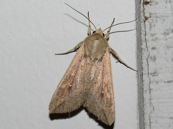 moth sp - Mythimna unipuncta