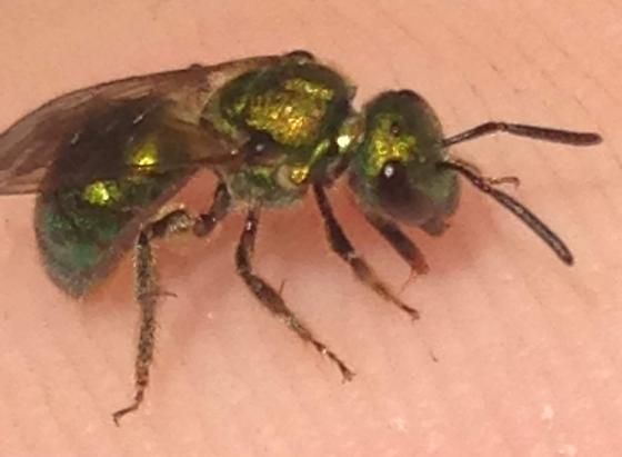 Some kind of Sweat Bee - Augochlora pura - female