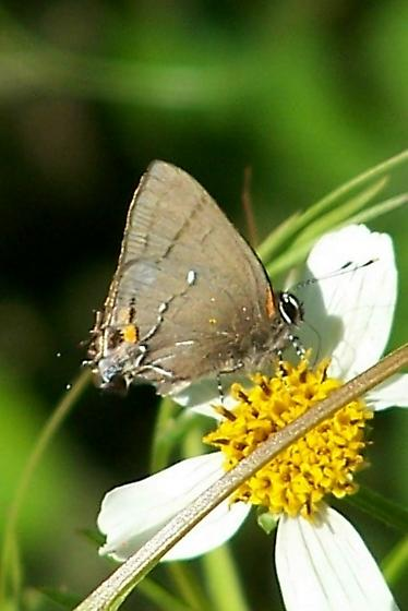 Fulvous Hairstreak? - Electrostrymon angelia