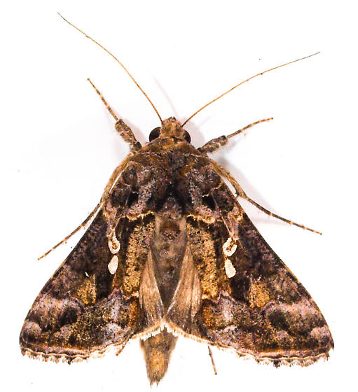 Moth to porch light  - Chrysodeixis includens
