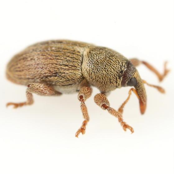 Red-legged weevil - Tychius