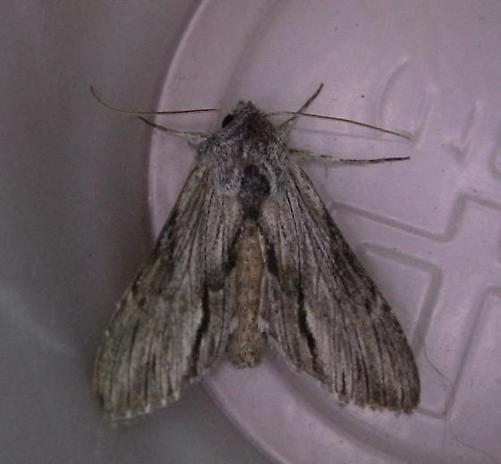 For Oregon for August - Cucullia eulepis