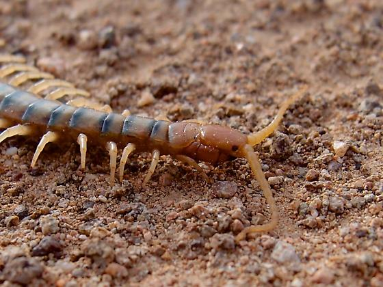Scolopendra? maybe polymorpha - Scolopendra polymorpha