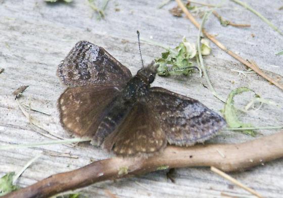 Sleepy Duskywing? - Erynnis icelus - male