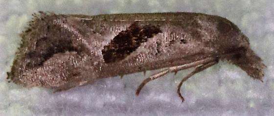 Eugnosta bimaculana