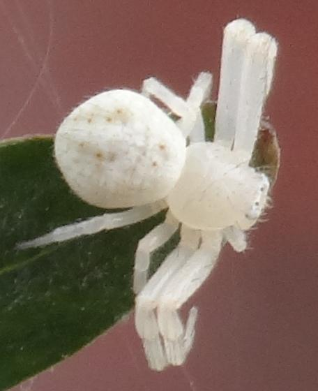 White crab spider - Mecaphesa