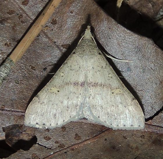 Bleptina caradrinalis - Renia salusalis - male