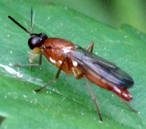 Red Cylindrical Fly - Loxocera