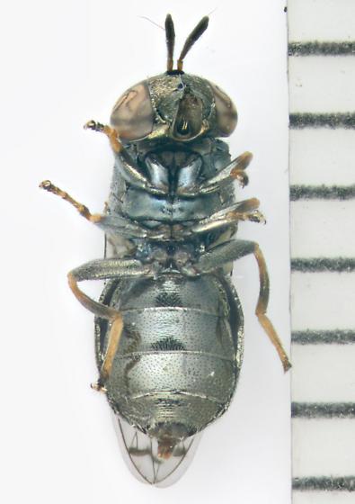 Syrphidae, ventral - Orthonevra nitida - female