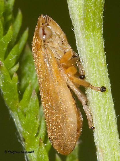 Spittlebug in open meadow - Philaenus spumarius