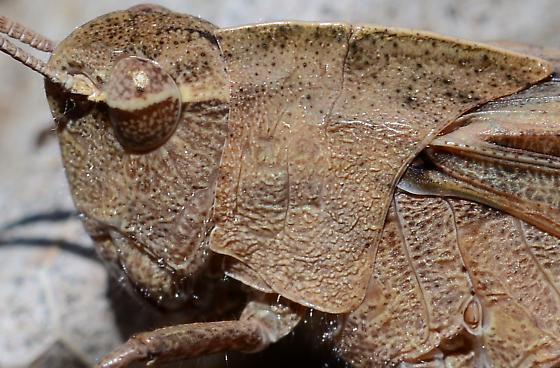Carolina Grasshopper? - Chortophaga viridifasciata - female
