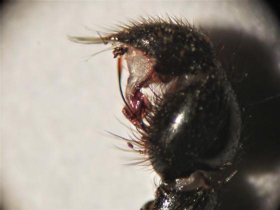 Black Purseweb Spider - Sphodros niger - male