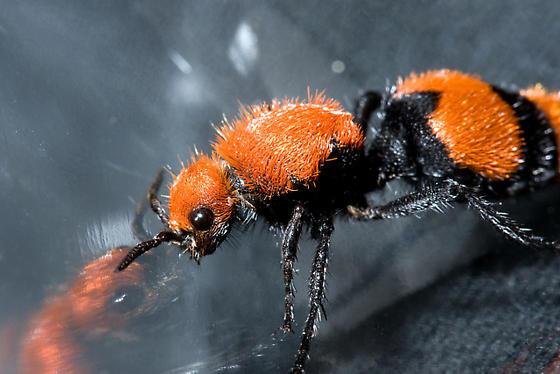 Eastern Velvet Ant (a.k.a. Cow Killer, Dasymutillao ccidentalis) - Dasymutilla occidentalis