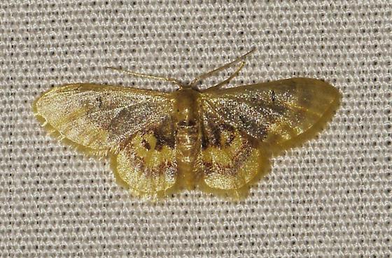 moth070417c - Idaea scintillularia
