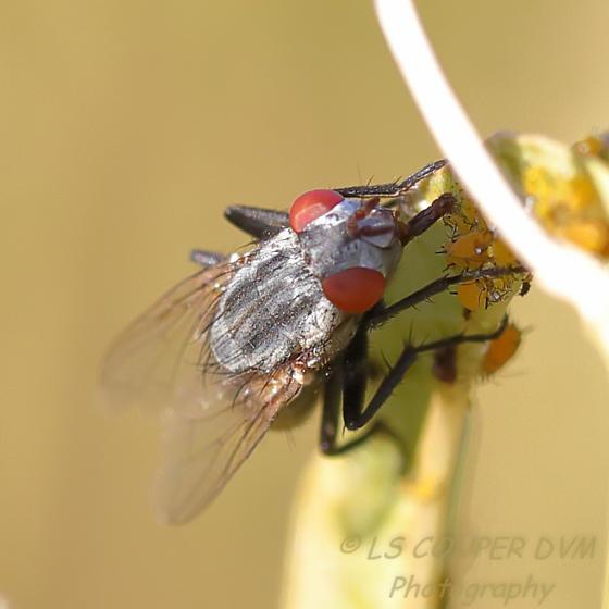 Fleshfly? on Milkweed  Wohlfahrtia? - Wohlfahrtia vigil